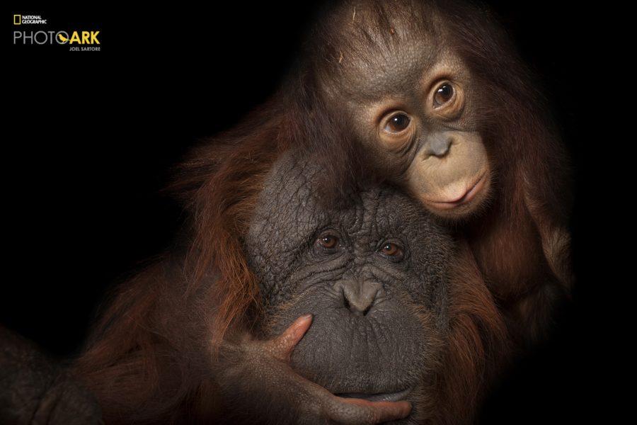 An endangered baby Bornean orangutan, Pongo pygmaeus, named Aurora, with her adoptive mother, Cheyenne, a Bornean/Sumatran cross, Pongo pygmaeus x abelii, at the Houston Zoo.  © Photo by Joel Sartore/National Geographic Photo Ark