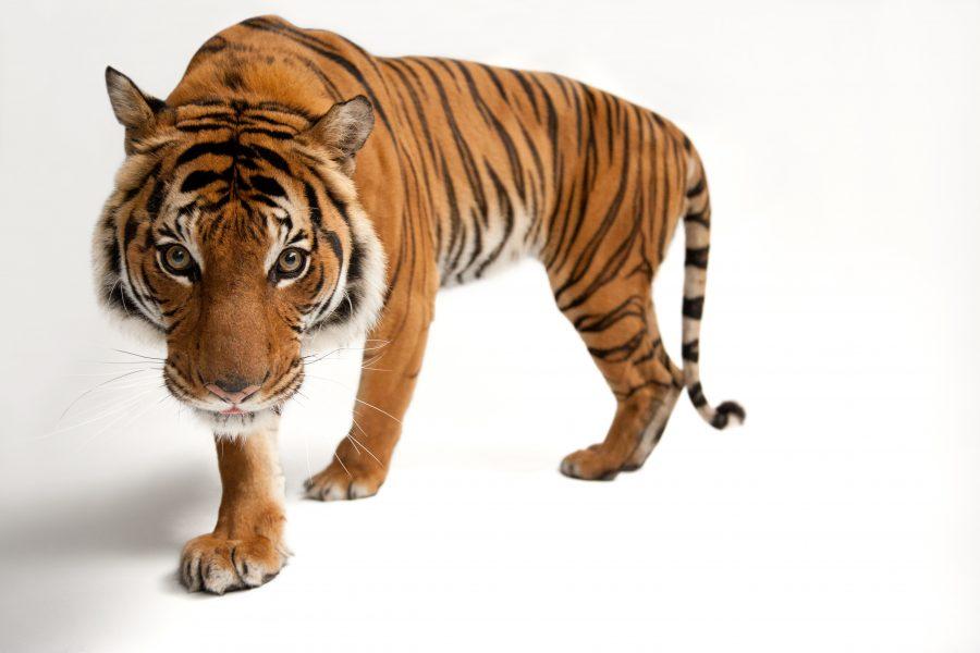 An endangered Malayan tiger, Panthera tigris jacksoni, at Omaha Henry Doorly Zoo.  © Photo by Joel Sartore/National Geographic Photo Ark