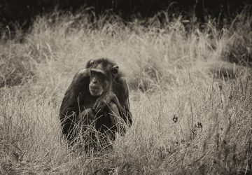 A grayscale selective focus shot of a sad black chimpanzee sitting thinking about life