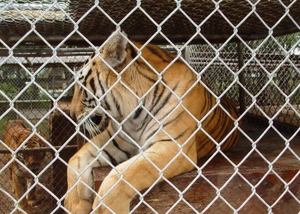 Tiger Trade Captivity